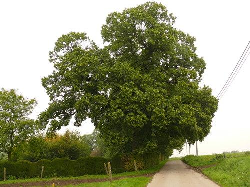 Maarkedal Bossenaarstraat 14 Bomenrij van tamme kastanje bij het Hof te Cattebeke (8)