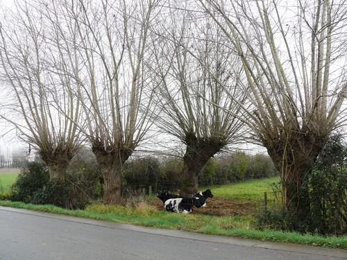 Poperinge Proven Blekerijweg Knotbomenrij (1)