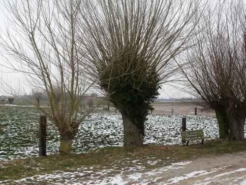 Poperinge Korte Lenestraat Knotbomenrij (1)