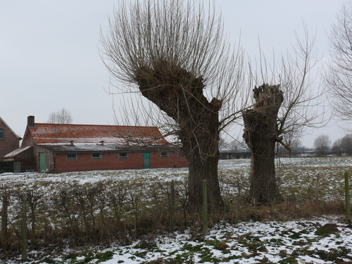 Poperinge Boescheepseweg Knotbomenrij (1)