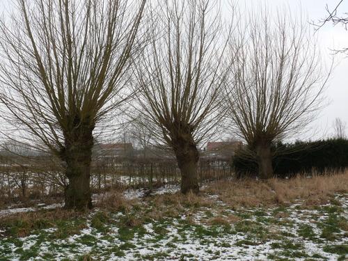 Poperinge Boescheepseweg Knotbomenrij (3)