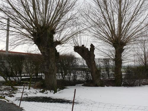 Poperinge Korte Lenestraat Knotbomen (2)