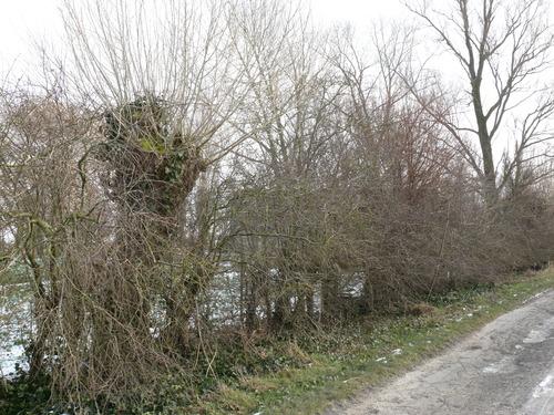 Poperinge Korte Lenestraat Knotbomen en meidoornhaag (3)