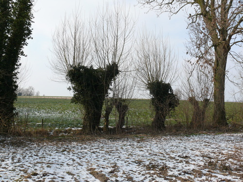 Poperinge Lappestraat Knotbomenrij (4)