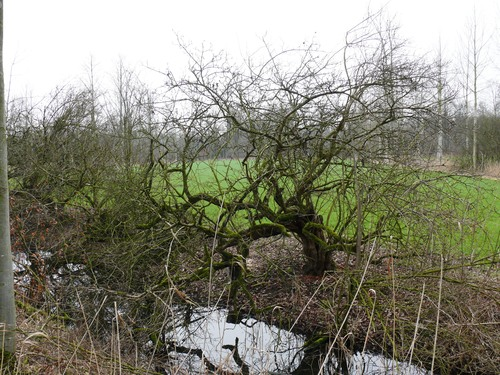 Bornem Kasteeldomein Marnix van Sint-Aldegonde Mispels (2)