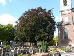 Opgaande bruine beuk als vredesboom op kerkhof