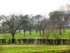 Weerhaag van meidoorn bij hoogstamweideboomgaard