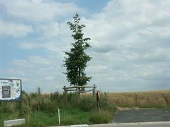 Opgaande linde Saksenboom