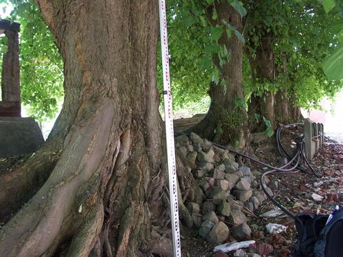 Zwalm Beerlegem Zavelputstraat 17 Gekandelaarde lindenrij als schaduwbomen bij mesthoop