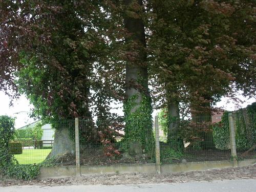Zwalm St Denijs Boekel Terweeënstraat Vredesplein 19-23 Bomenrij van vijf opgaande bruine beuken