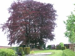 Bomenrij van vijf opgaande bruine beuken