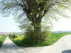 Zwalm Bruggenhoek Zwalmlaan Jagersboom gekandelaarde linde als grens hoek en kruispuntboom (https://id.erfgoed.net/afbeeldingen/194842)