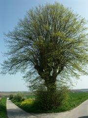 Zwalm Bruggenhoek Zwalmlaan Jagersboom gekandelaarde linde als grens hoek en kruispuntboom (https://id.erfgoed.net/afbeeldingen/194843)