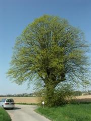 Zwalm Bruggenhoek Zwalmlaan Jagersboom gekandelaarde linde als grens hoek en kruispuntboom (https://id.erfgoed.net/afbeeldingen/194844)