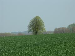 Zwalm Bruggenhoek Zwalmlaan Jagersboom gekandelaarde linde als grens hoek en kruispuntboom (https://id.erfgoed.net/afbeeldingen/194848)
