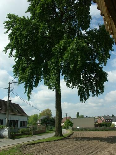 Zwalm Munkzwalm Veldstraat Opgaande grauwe abeel
