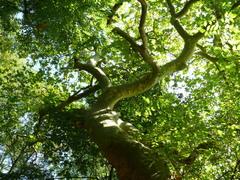 Opgaande Oosterse plataan als hoekboom