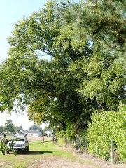 Drie oude knotbomen van zomereik en haagbeuk