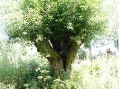 Knotbomenrij langs oever Maalbeek