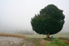 Solitaire taxus