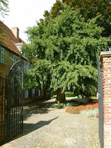 De treurginko op het erf van de voormalige pastorie van het Diestse begijnhof