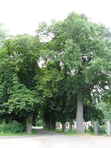 Maasmechelen Dreef zn gerechtsbomen (3)