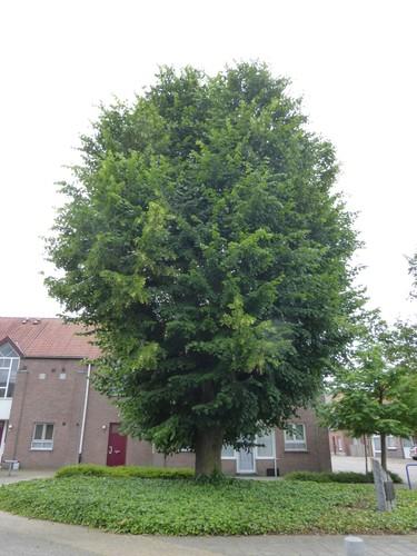 Neerpelt Sint-Huibrechts-Lille Lindestraat twee herdenkingsbomen