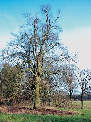 De zilverlinde in het park van het Domherenhuis in de winter.