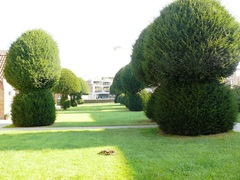 Twaalf taxus topiary in hospicetuin