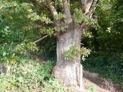 Oude knoteik als hoekboom