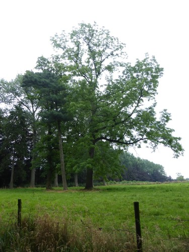 Borgloon, Bommershoven, Terhove, Zwarte noot en robinia Terhove