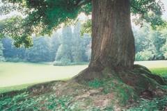 De open ruimte ten noordwesten van het kasteel Groenenberg, twee mammoetbomen op de achtergrond (https://id.erfgoed.net/afbeeldingen/217438)