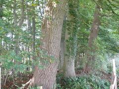 Twee grauwe abelen als hoekbomen
