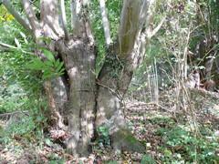Geknotte tamme kastanjes en relict van kaphaag met fladderiepen