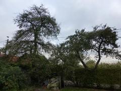 Afsluitingshaag van beuk en haagbeuk met fruitbomen