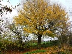 Opgaande veldesdoorn en hazelaar als hoekboom
