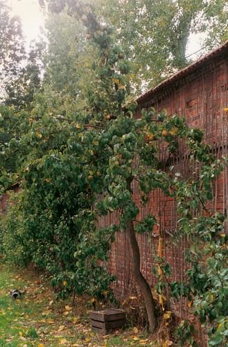 Fruitmuur. De pannen afdekking beschermt het fruit tegen de regen.