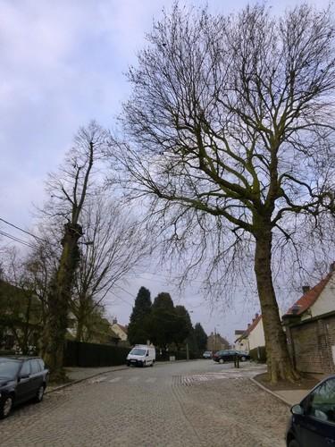 Gekandelaarde linde als vrijheidsboom en opgaande plataan als vredesboom