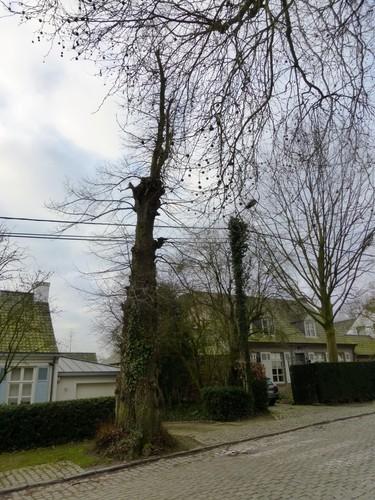 Gekandelaarde linde als vrijheidsboom