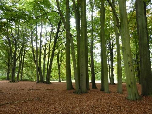18 Beukenclumps in kasteelpark Wolvenbos