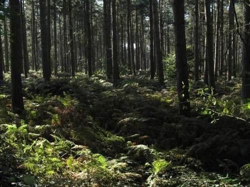 Het Polygoonbos met naaldhoutbestanden van grove den en Corsicaanse den