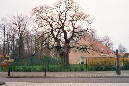 Sint-Niklaas Belsele Vijverstraat 1 Tamme kastanje (1)