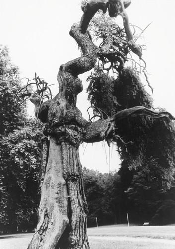 De treurhoningboom in het Klein Park van Lovenjoel, in het begin van de jaren 1980 verdwenen