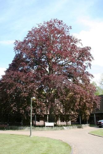 De Pinte Kasteellaan 35-41 opgaande rode beuk in kasteeldomein van Scheldevelde