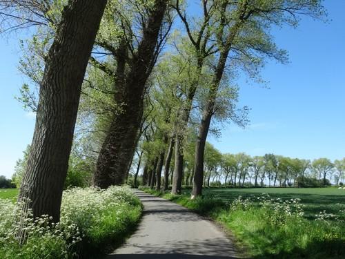 Opgaande populieren langsheen de Krinkeldijk in Oostkerke
