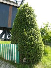 Twee geschoren hulsttopiary bij molenerf
