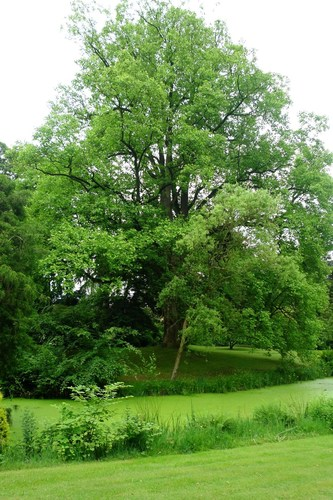 Sint-Niklaas Belseledorp 131-133 tulpenboom 'Mediopictum'