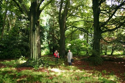 Sint-Niklaas Belseledorp 131-133 boomcirkel van bruine beuken