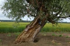 Wilg als kapelboom in de Prosperpolder