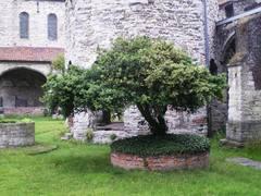 Parasolvormige buxusboompjes bij Sint-Baafs-Abdij